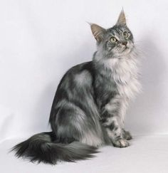 silver+and+black+cats | Mistykit:is a silver tabby with blue eyes mother:wolfstar