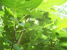 How to root fig tree cuttings!