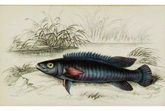 Blue Cychla Fish, 1843 - Charming blue toned cychla fish from The Naturalist's Library by Sir William Jardine. Engraved and hand colored in Edinburgh, 1843.