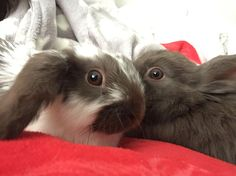 #bunny #rabbit #love #boy #girl #dexter #leia #pets #pet #happy #cuddles #love #brother #sister #babies #cute