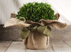 """Boxwood Preserved Wrapped in Burlap 7"""" $29 Potted"""