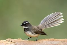 Photo White Spotted Fantail by Sandeep Dutta on 500px