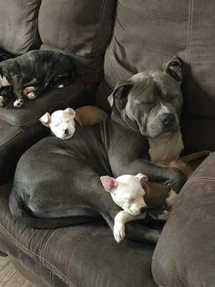 Pitbull mama & her pups