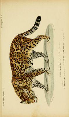v. De enero de 1849 - Atlas (Zoología - humano, pájaros y mamíferos) - Diccionario universal de historia natural - Biodiversity Heritage Library