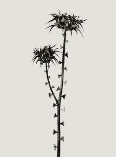 Joan Fontcuberta conceptual artist (Barcelona, Spain Braohypoda Frustrata from The Herbarium series, 1984 Karl Blossfeldt, Still Life Photography, Nature Photography, Outline Photography, White Photography, Narrative Photography, Patterns In Nature, Natural Forms, Commercial Photography