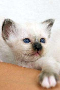 Birman Beauty Kittens by SábaCat Cattery, Cats And Kittens, Fur Babies, Animals, Beauty, Animales, Animaux, Animal, Animais