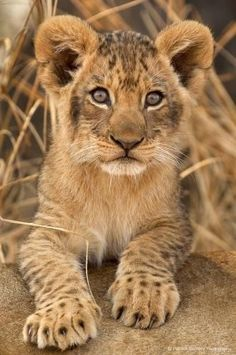 Cute lion cub, in Zambia's South Luangwa. Big Cats, Cats And Kittens, Cute Cats, Beautiful Cats, Animals Beautiful, Beautiful Pictures, Cute Baby Animals, Animals And Pets, Wild Animals