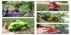 Çiftçi Varsa Toprak Var Nenelerimizden kalan, sandıklarda saklanan atalık tohumlarımız, neden takas yapılıyor biliyor musunuz?