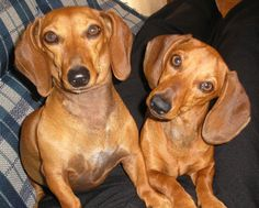 Nina and Lully were saying: Really? Tell us more ... - photo via I love Dachshunds fb page