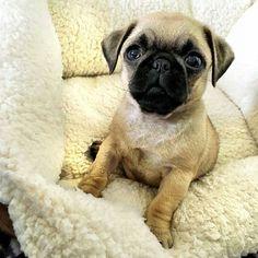 by @maizypug  DoubleTap & Tag a Friend below . . . . #pug #puglife #pugsofinstagram #pugs #puglove #pugstagram #pugsnotdrugs #pugnation #pugoftheday #pugsrequest #pugworld #puglover #puglovers #pugmania #pugbasement #pugslife #pugsandkisses #pugface #pugdog #pugaday #pugofinstagram #pugsofig #pugsrule #pugalier #dogsofinstagram #dog #fun #love #cute #pugsproud by pugsproud