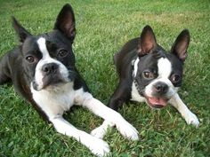 Boston Terriers. I think I want one.