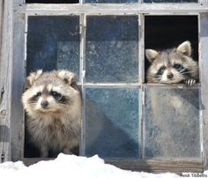 """Heidi Tibbetts photographed these raccoons (""""Big Daddy"""" and """"Mumma Coon"""")"""