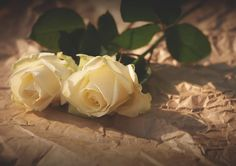 white, roses, flowers, sunlight