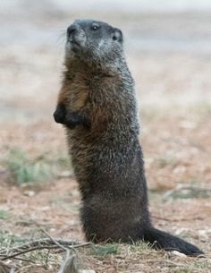 Woodchuck UPDATE April 2, 2017 - The Wildlife Research Institute