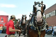 Eric Soto, the Assistant Supervisor of the East Coach Hitch looks over the The Budweiser Clydesdales at ChampÕs Corner on Larry Holmes Drive...