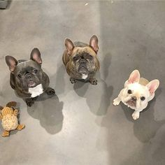 Left or right or center? French Bulldogs @bikini_and_buoy on instagram