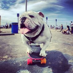 french bulldog on skateboard - Hľadať Googlom