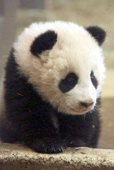 I really want a panda. why can't I have a panda. I also want a tiger and a . Niedlicher Panda, Panda Bebe, Cute Panda, Panda Food, Cute Baby Animals, Animals And Pets, Funny Animals, Baby Pandas, Jungle Animals