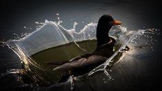 Duck  © Sándor Daku