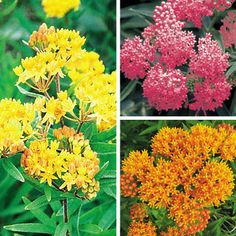 Butterfly Plant collections: Yellow Butterfly Weed (asclepias tuberosa), Orange Butterfly Weed (asclepias tuberosa) and Pink Swamp Milkweed (ascelpias incarnata).