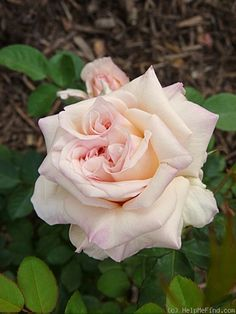 This rose shows an undesirable trait. A 'confused center' refers to more than one perfect middle in a blossom. Rose Pictures, Rose Photos, Planting Roses, Garden Roses, Tea Roses, Rose Tea, Landscaping With Roses, Rose Williams, Bonito
