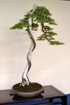 Resultado de imagen para bursaq bonsai .com