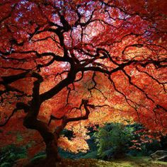 Japanese maple tree! They are magnificent :)