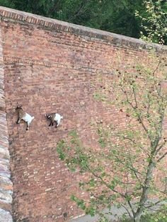 PetsLady's Pick: Surprising Climbing Goats Of The Day...see more at PetsLady.com -The FUN site for Animal Lovers