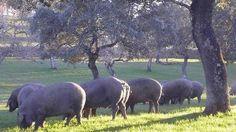 La DO Los Pedroches sacrifica 13.000 cerdos puros de bellota esta campaña