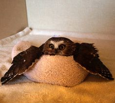 Funny pictures about Owl In A Towel. Oh, and cool pics about Owl In A Towel. Also, Owl In A Towel photos. Animals And Pets, Baby Animals, Funny Animals, Cute Animals, Cute Creatures, Beautiful Creatures, Animals Beautiful, Gato Animal, Mundo Animal