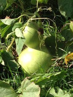 Port Potager: Harvesting Bottle Gourds