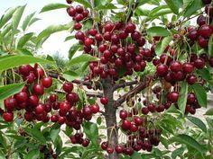ВЫРАЩИВАНИЕ ВИШНИ В ПРИРОДНОМ ЗЕМЛЕДЕЛИИ. Как вырастить щедро плодоносящую Вишню