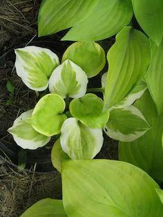 Forum Ogrodnicze Oaza :: Topic: Miniaturki i maluchy (1/5)Heavenly Tiara