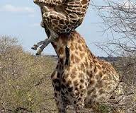 giraffe spider