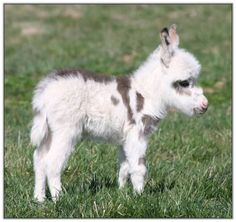 So wee! >> Miniature donkey foal...Probably the most precious thing I have EVER seen,...with the exception of my own newborns! ;)