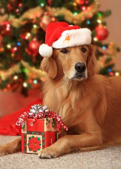 Check out our 2019 dog accessories gift guide for some smart useful ideas. Check out our 2019 dog accessories gift guide for some smart useful ideas. Dog Christmas Pictures, Christmas Puppy, Christmas Animals, Merry Christmas, Xmas, Dog Photos, Dog Pictures, Dog Lover Quotes, Dog Lovers