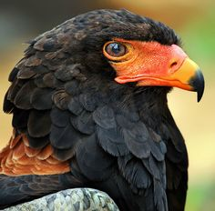Bateleur - the short tailed eagle, acrobat of the South African skies