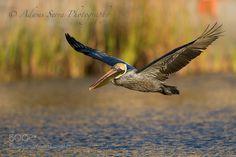 Brown Pelican by AdamsSerra