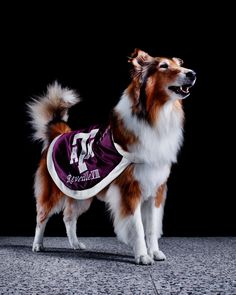 "Reveille. Texas A&M, 8th Generation. They call her the First Lady of Texas A&M, and to the freshmen cadets she's ""Miss Reveille, ma'am."" Her rank is higher than any other student's in the corps of cadets. Reveille attends class with her caretaker. It's tradition that if Reveille barks during class, the professor dismisses the students for the day."