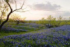 Southern weddings - field of bluebonnets