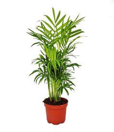 Chamaedorea elegans - palmier - 3 plantes de montagne: Amazon.fr: Jardin