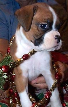 boxer for Christmas. yes, please!