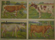 the old school's educational board - Opetustaulu, lehmärotuja - Finnish cows Vintage Farm, Retro Vintage, Cattle, Farm Animals, Finland, Childhood Memories, Illustrators, Folk Art, Woodland