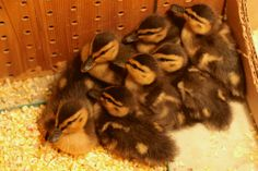 Seven fluffy rescued ducklings.