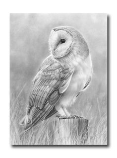 Barn owl, I like the action in the drawing