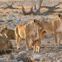 To a #lion, I look like a Namibian pizza