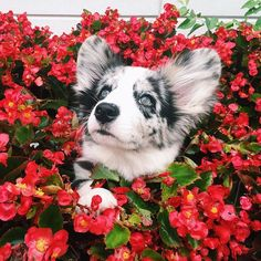 Ooh look! A wild Navy flower Cute Puppies, Cute Dogs, Dogs And Puppies, Beautiful Creatures, Animals Beautiful, Animals And Pets, Cute Animals, Corgi Mix, Cute Pictures