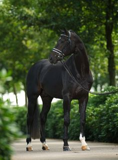 My dream horse: a black Thoroughbred gelding whom I could compete in three-day eventing with.