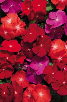 Pacifica Hybrid Mix Vinca Flower Seeds