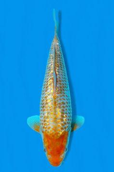 Koi Carp, Fish, Female, Pets, Animals, Animales, Animaux, Pisces, Animal